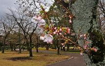 Sakura20150322i