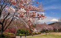 Sakura20150328e