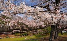 Sakura20150328f