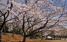 Sakura20150328k