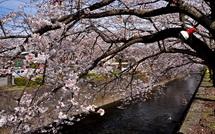 Sakura20150328m