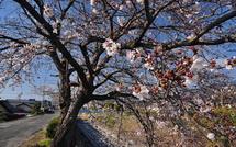 Sakura20150328q