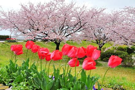 Sakura20150404a