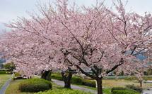 Sakura20150404b