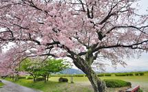 Sakura20150404c