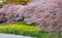 Sakura20150404e