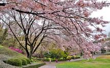 Sakura20150404g