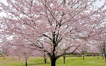 Sakura20150404h
