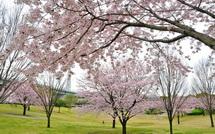 Sakura20150404i
