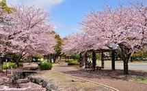 Sakura20150404k