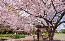 Sakura20150404l