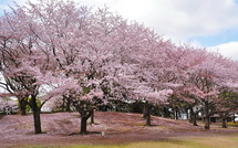 Sakura20150404m