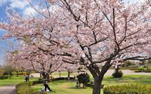 Sakura20150404n