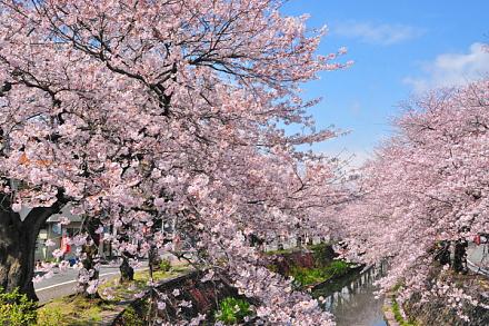 Sakura20150404o