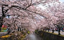 Sakura20150404p
