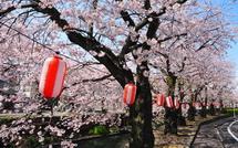 Sakura20150404q