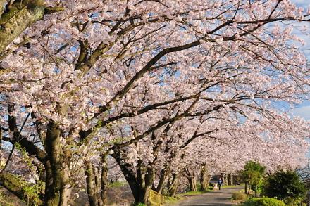 Sakura20150404r
