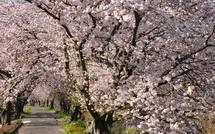 Sakura20150404s