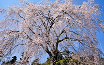 Satoyama_shidare02