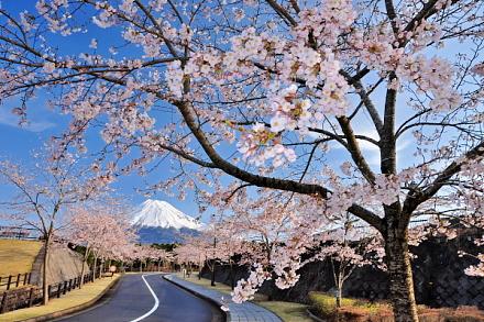 Shinrinboen_sakura02015a