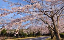 Shinrinboen_sakura02015d