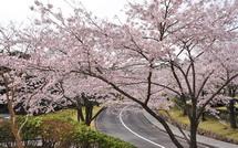 Shinrinboen_sakura02015e