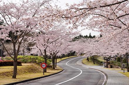 Shinrinboen_sakura02015f