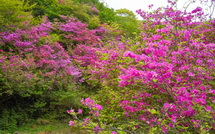 咲き誇るアシタカツツジ