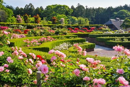 色とりどりのバラが咲く円形花壇