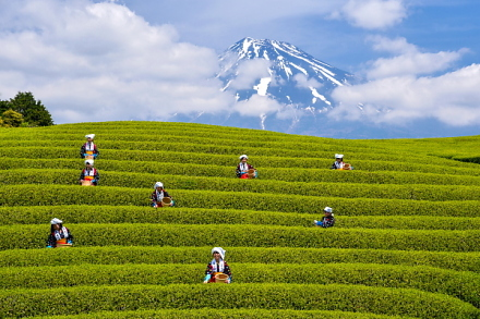 茶娘と富士山の風景