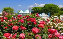 咲き誇るバラと富士山の風景