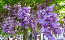 綺麗な八重咲の藤