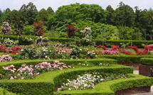 見頃を迎えた広見公園のバラ