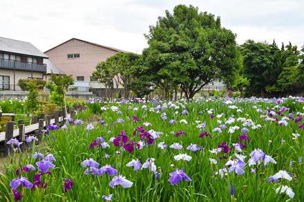 花菖蒲を楽しめる鮫島地区のビオトープ