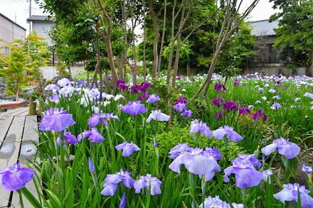 ビオトープに咲き誇る花菖蒲