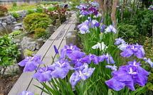 木道を散策しながら花菖蒲を楽しめる