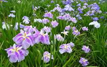 咲き誇る花菖蒲