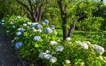 一部に青く色付き始めた花も見られる