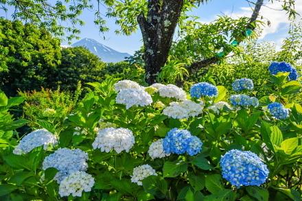 開花したあじさい越しに見る富士山
