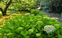 咲き始めたあじさいと木々の緑