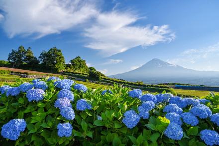 岩本山の茶畑の一角にあるあじさいが見頃