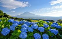 咲き誇る青色のあじさいと富士山の風景