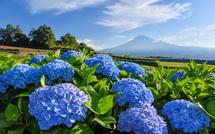 青色あじさいと富士山の爽やかな風景を堪能