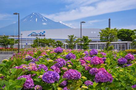 富士山をバックにあじさいを楽しめる