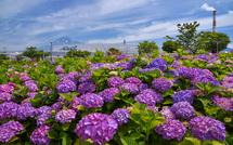 咲き誇る紫色のあじさい