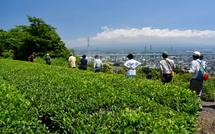 茶畑の脇を歩く
