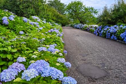 あじさいが見頃のピークを迎えつつある岩本山公園