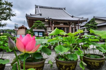 蓮の花が咲き始めた代通寺境内