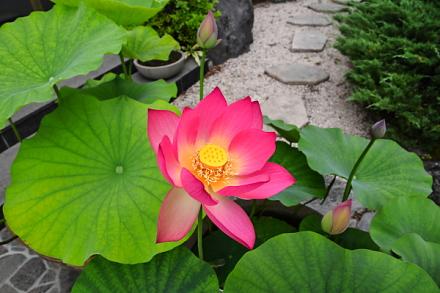 開花した蓮と次々に咲きそうなつぼみ