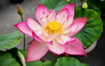 開花した蓮をアップ